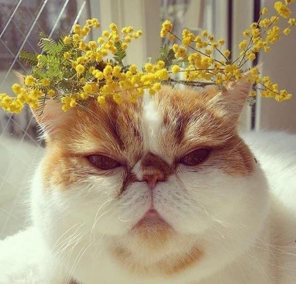 прикольная картинка кота с мимозой
