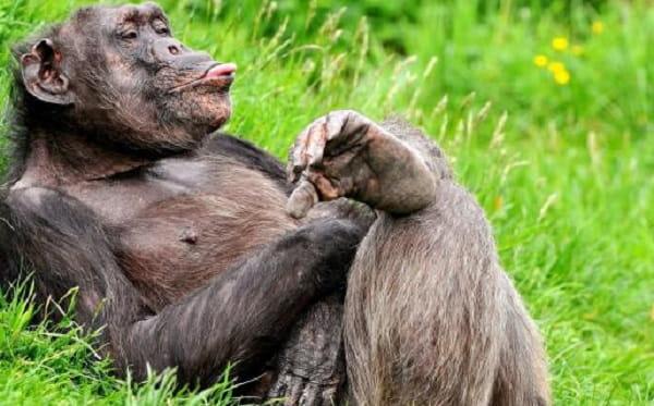 мечтательная обезьяна