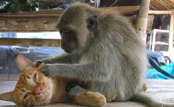 обезьяна и кот