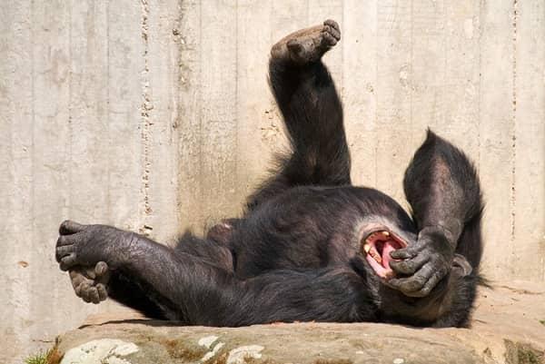 обезьяна смешная