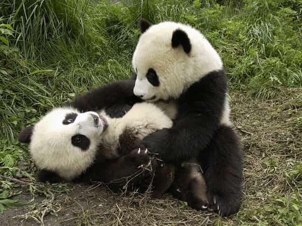 смешные панды