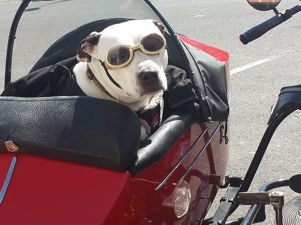собака в коляске