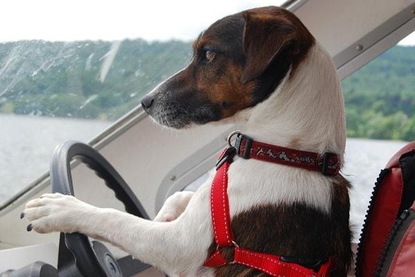прикольная собака за рулем
