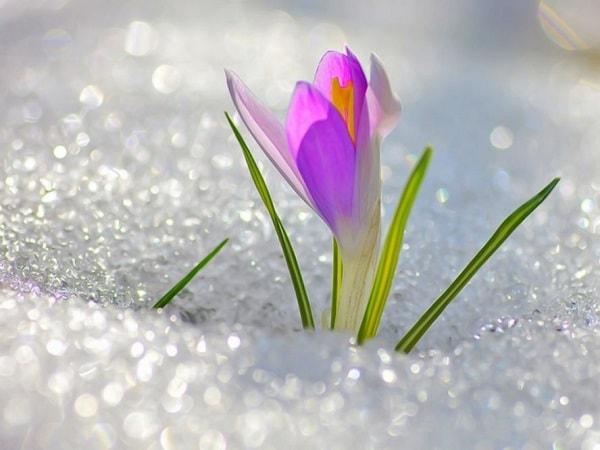 весеннняя картинка с цветком на снегу