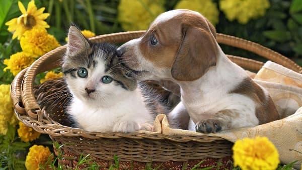 котенок и щенок в корзине