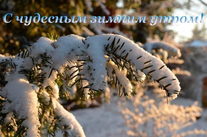 лапа елки в снегу утром