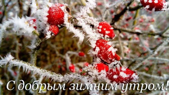 куст шиповника в инее зимним утром