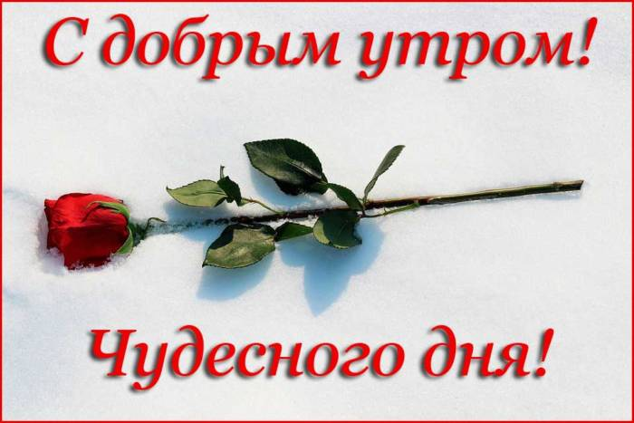 роза и пожелание чудесного дня