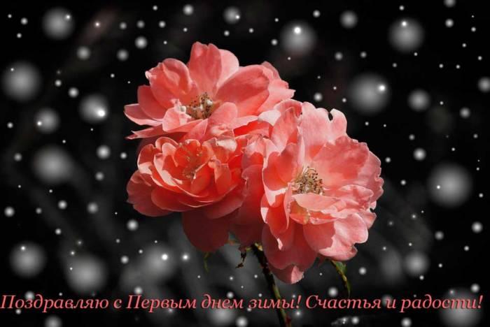 розы и снег в декабре