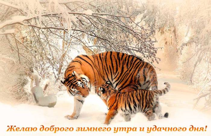 тигры желают хорошего утра