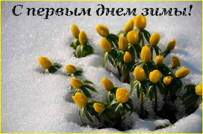 тюльпаны в первом снегу